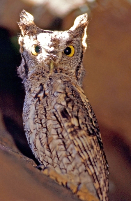 Say hello to the Grey Screech Owl.