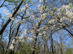Serviceberry is one of the early blooms of spring.