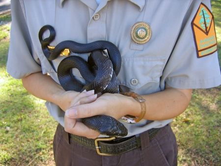 Rat snakes are sometimes used to educate park visitors.