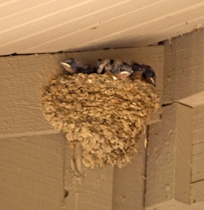 Somethimes we get a special treat that we can share with school groups likke this barn swallow nest at the visitor center.