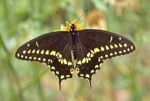 Balck Swallowtail Butterfly