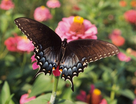 Dark Form Female Tiger Swallowtail