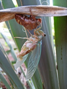 Always remember to take time to explore the small wonders in nature, like the emergence of the cicadas.