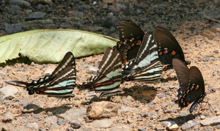 Mud-puddling Zebras and Pipevine Swallowtails