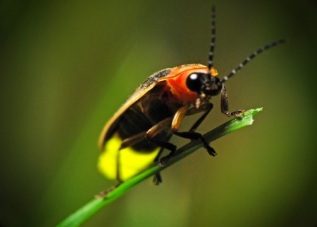 Firefly up close, photo by James Jordan.