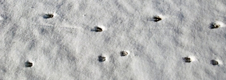 Mamma & Baby White-tailed deer tracks.