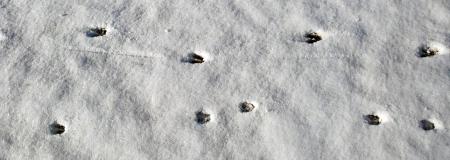 Mamma & Baby White-tailed deer tracks.