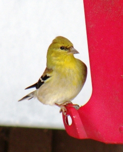 A goldfinch visits a feeder filled with sunflower seeds
