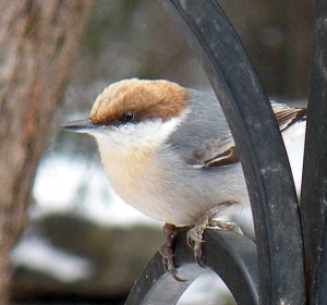 Brown-headed nuthatch at Petit Jean State Park