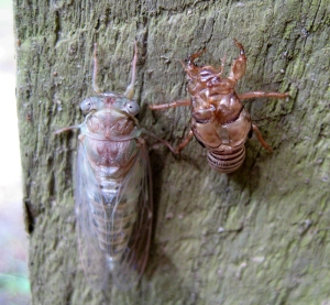Insects, like this newly molted cicada, make an interesting addition to the song of the woods.