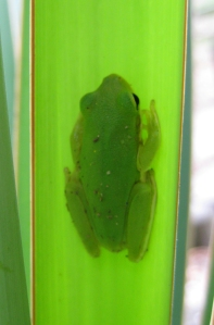 The Green Treefrog is a small frog with a big voice.