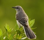 Mockingbirds steal the show with a variety of calls.