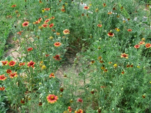 Blanket flower and Mexican Hat