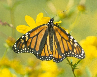 A female Monarch Butterfly enjoys a stop over at Mount Magazine.